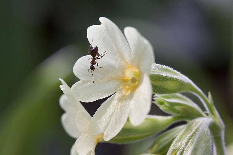 Fruehlingsblume Hohe Schluesselblume