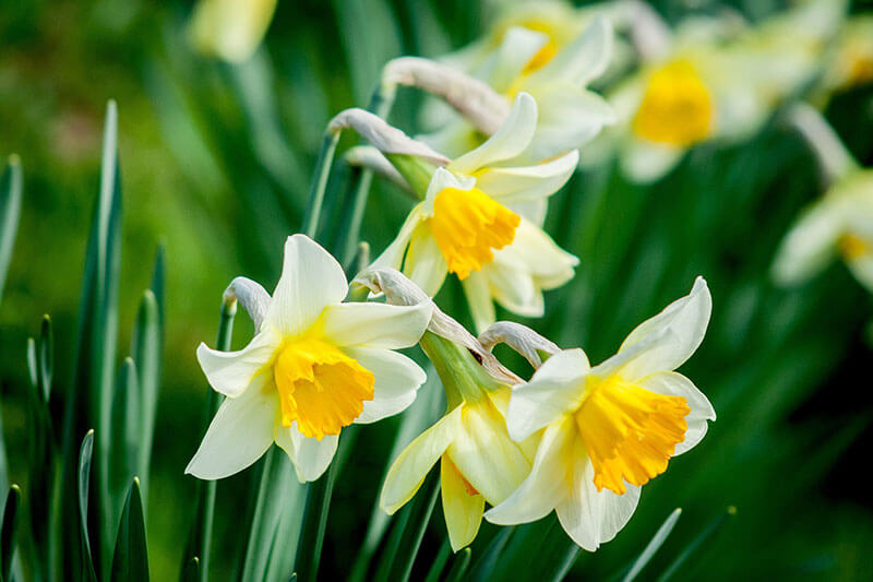 Fruehlingsblumen Gelbe Narzisse