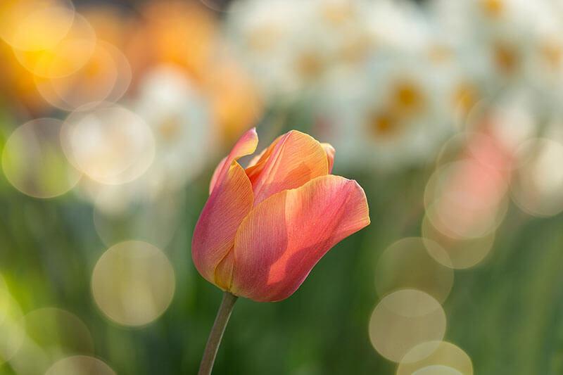 Fruehlingsbumen Tulpe